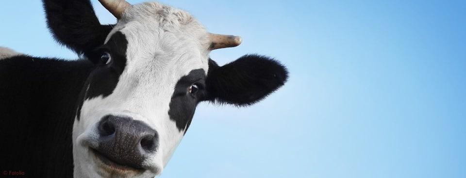 Si tu manges la vache, tu n'auras plus de lait